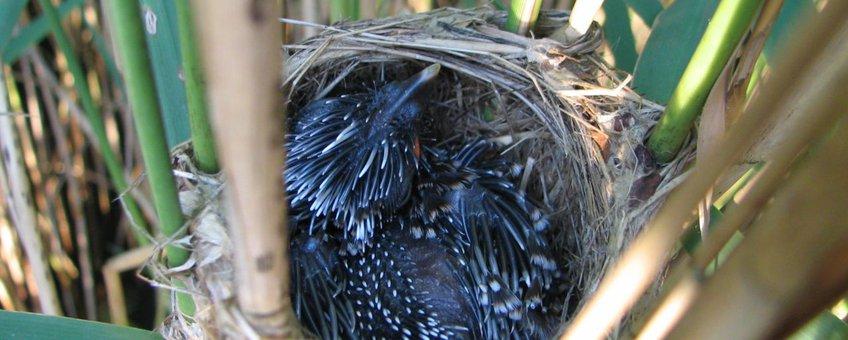 Koekoeksjong in nest kleine karekiet