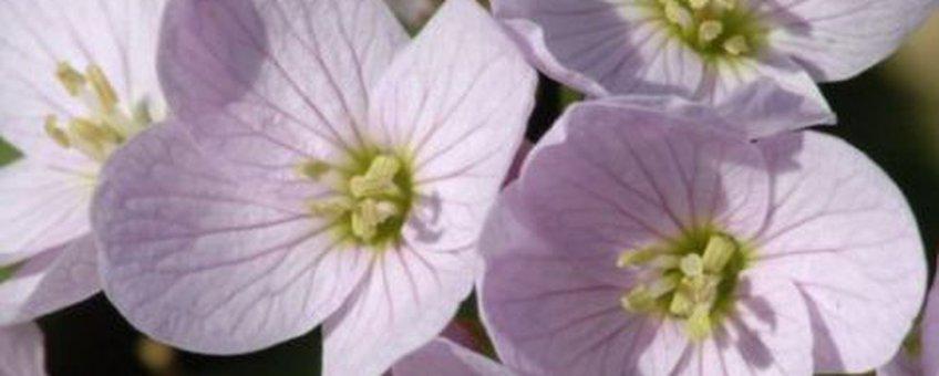 Bloei pinksterbloem detailopname. Foto: Joost uit ten Bogaard. Beschikbaar gesteld aan de Natuurkalender