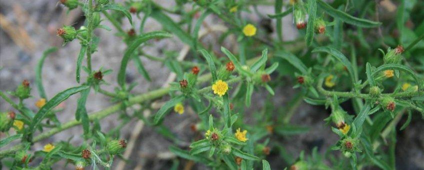 Kamferalant (Dittrichia graveolens)