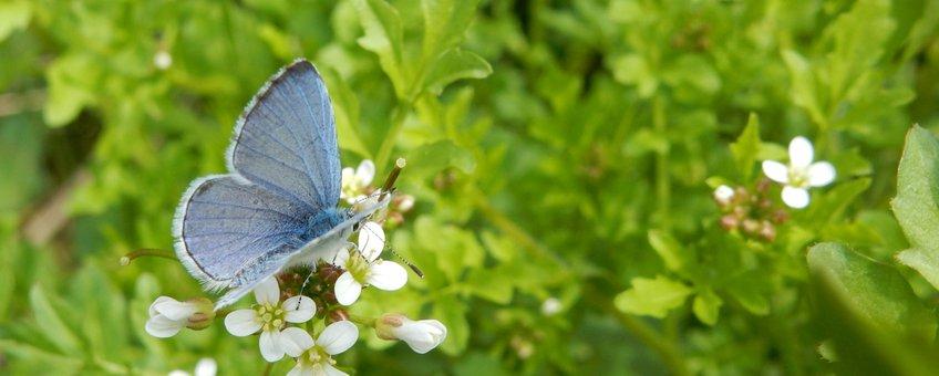 boomblauwtje - primair