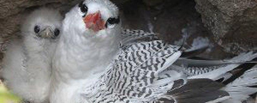 Red-billed Tropicbird on nest, tropische keerkringvogel op nest