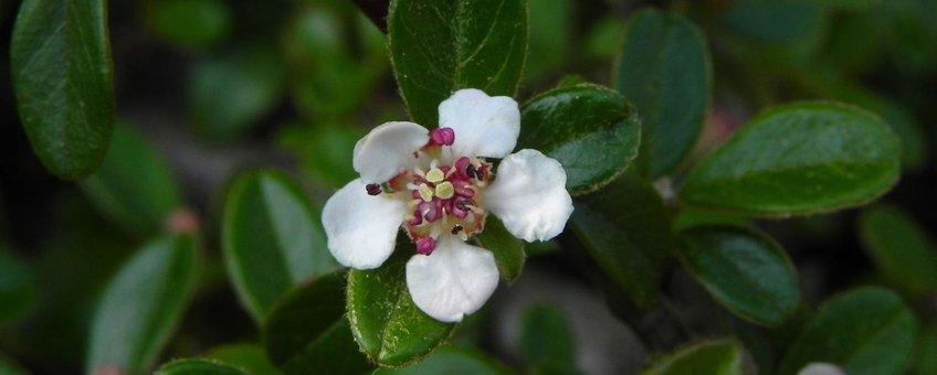 De bloeiwijze van Cotoneaster dammeri. Een laagblijvende, altijdgroene dwergmispel