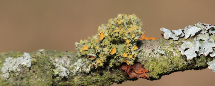 Oranje wimpermos