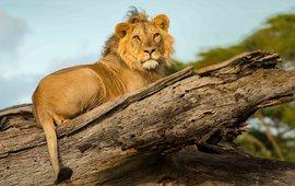 Een leeuw rust uit op een omgevallen boom in het Lewa Wildlife Conservancy in Kenia.