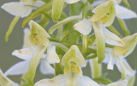 Nachtorchis hybride (Platanthera x hybrida)