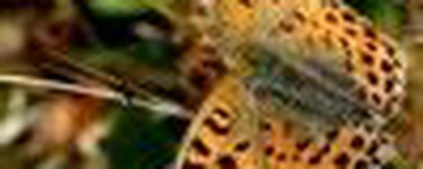 kleine parelmoervlinder klein