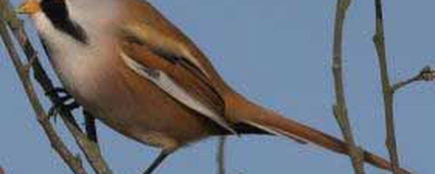 Panurus biarmicus. Baardman