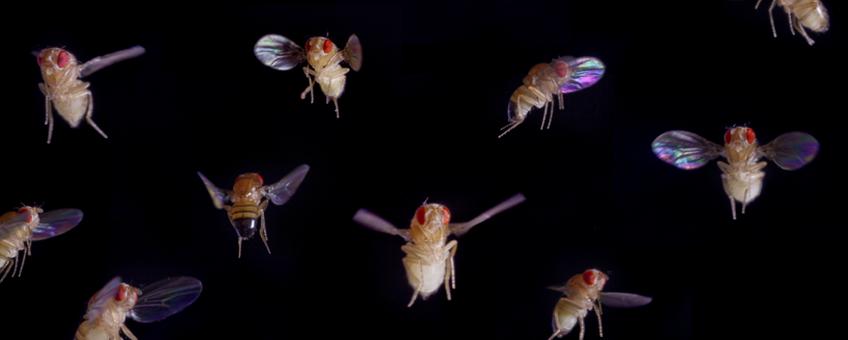fruitvlieg vlucht