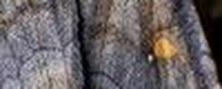 wachtervlinder klein