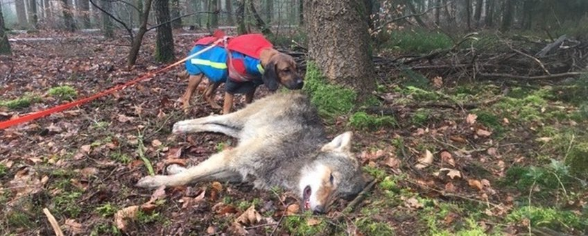 Dode wolf in het bos bij Epe