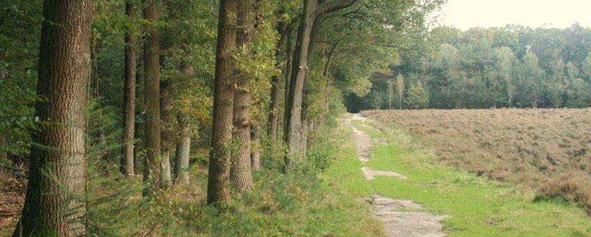 Wandelpad in de Sysselt langs stuk heide en loofbos met ondergroei van bosbessen