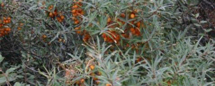 Duindoorn met vruchten