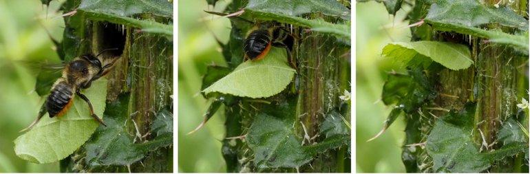 Vrouwtje dikbekbehangersbij gaat nestgang in met stukje blad