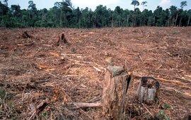 Illegale ontbossing voor de papierindustrie en boskap voor een palmolieplantage. Tesso Nilo, Riau, Sumatra, Indonesië