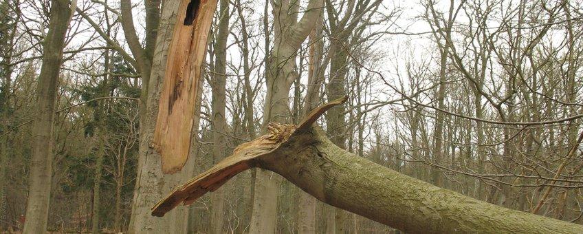 Holle eik met een afgebroken zijtak na een storm