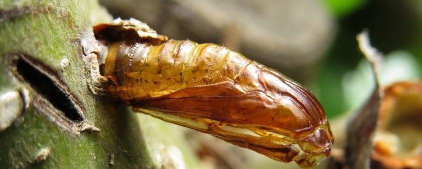 Elzenwespvlinder lege pop in uitkruipgat