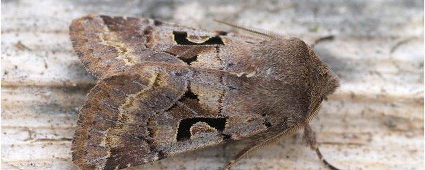 Nunvlinder