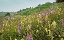 Orchideeen in het veld.