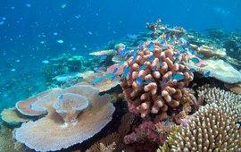 Lodestone Reef in Great Barrier Reef, Chromis viridis on coral