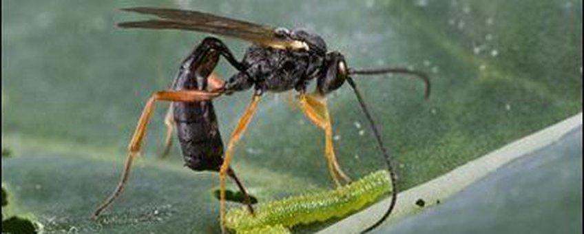 De sluipwesp Hyposoter ebeninus parasiteert een rups van het kleine koolwitje (Pieris rapae)