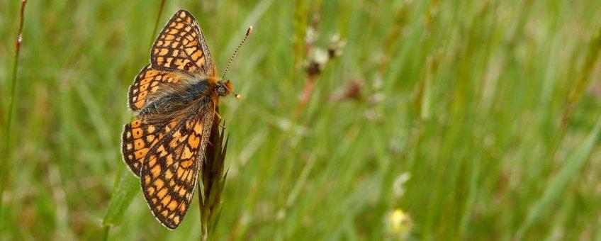 Moerasparelmoervlinder - primair