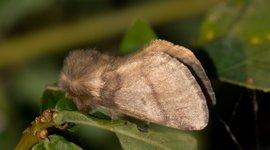 Een vrouwtje eikenprocessievlinder met de bruinachtige tot geel grijze voorvleugel, met dwarslijnen en een kleine middenstip in de vorm van een komma.