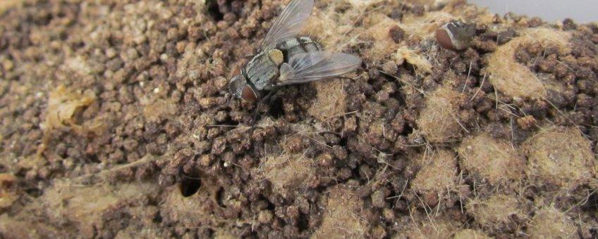 Sluipvlieg Carcelia iliaca die parasiteert op de eikenprocessierups