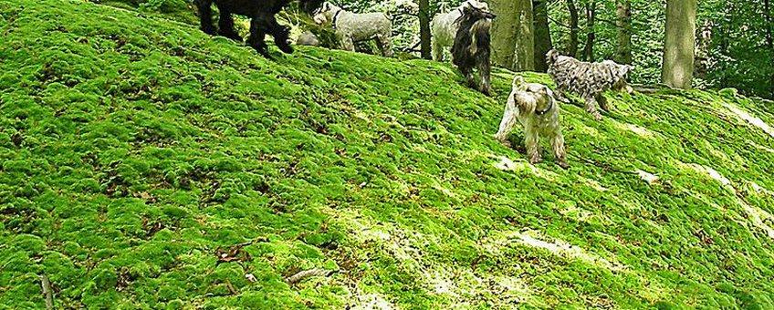 Honden op de mosheuvel