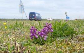 Door het huidige maaibeheer voelen diverse orchideeën zich thuis in wegbermen