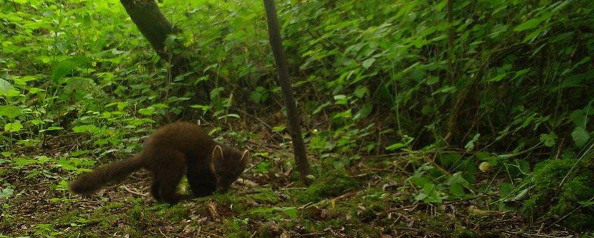 Jonge boommarter, vastgelegd met een cameraval