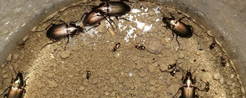 Loopkevers van verschillende afmetingen in een bodemval