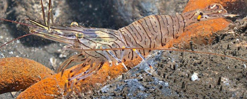 Palaemon serratus. Gezaagde steurgarnaal