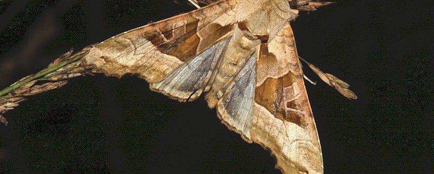 Agaatvlinder op Pijpenstrootje