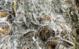Sluipvlieg op eikenprocessierupsen