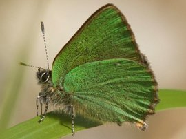 Callophrys rubi. Groentje