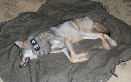 De wolvin Naya kreeg in Duitsland onder verdoving een GPS-zender om