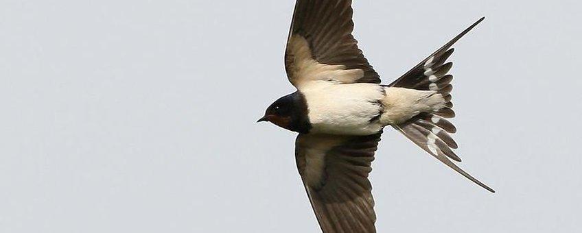 Zwierige vlucht en elegante verschijning: Boerenzwaluw ten top
