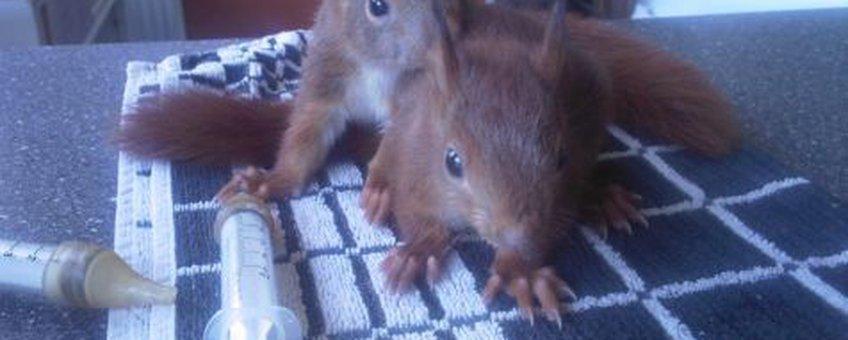 Jonge eekhoorns in de opvang