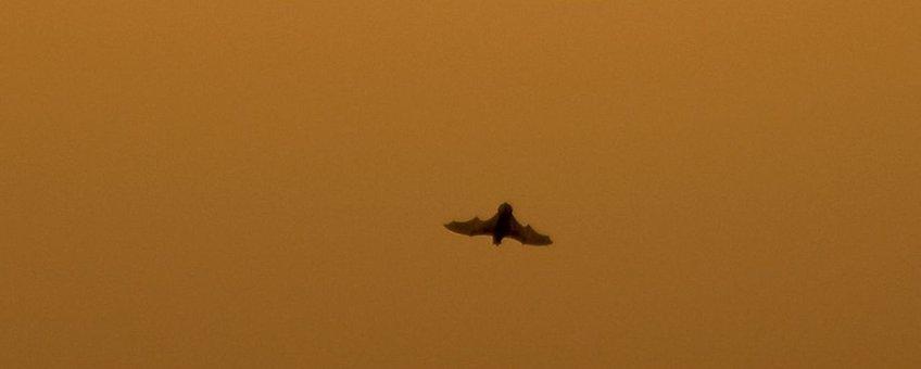Rosse vleermuis