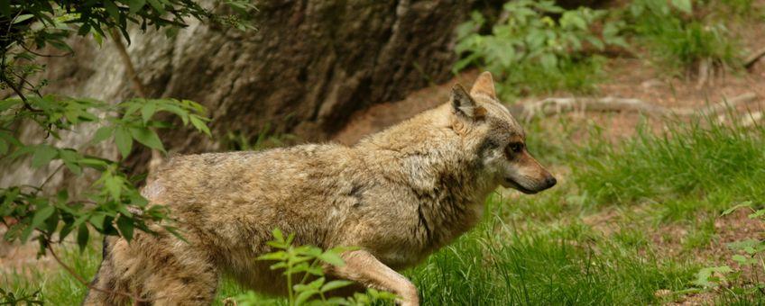 De wolvin bezocht met name de provincies Drenthe, Overijssel en Gelderland