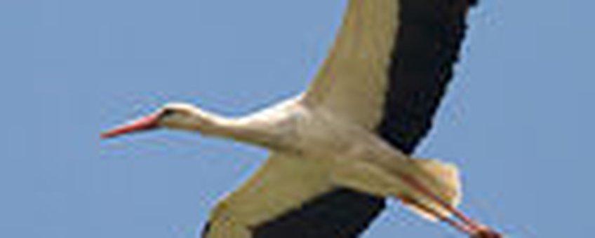 Vliegende Ooievaar - Harvey van Diek