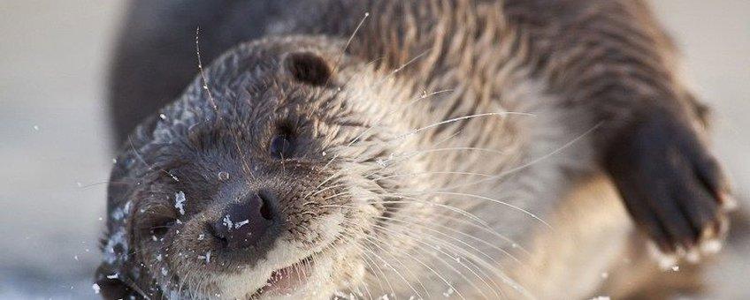 Otter. EENMALIG GEBRUIK