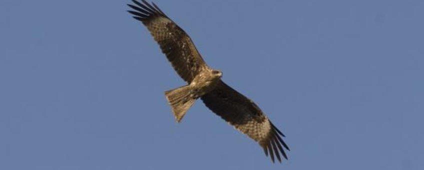 Milvus migrans, Zwarte wouw, vliegend. Foto: Saxifraga-Mark Zekhuis. http://www.freenatureimages.eu