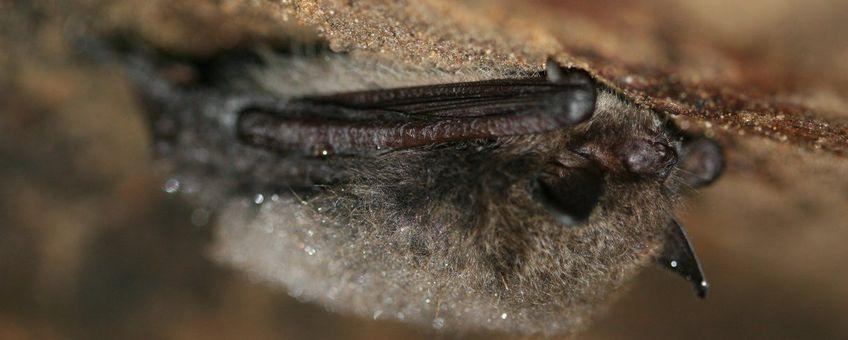 Myotis mystacinus. Baardvleermuis