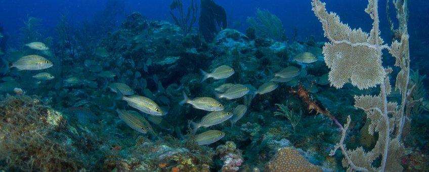 Vissen en hun schuilplaatsen op de Sababank