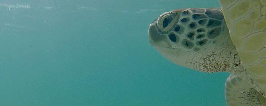 Soepschildpad bij Bonaire