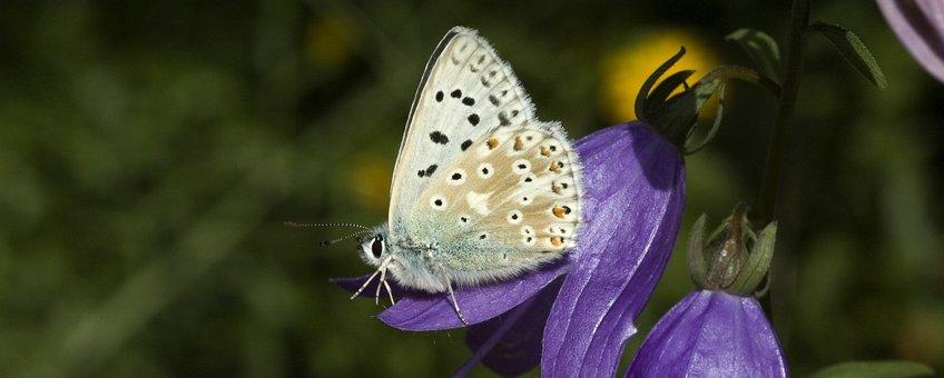 Polyommatus coridon. Bleek blauwtje, vrouwtje