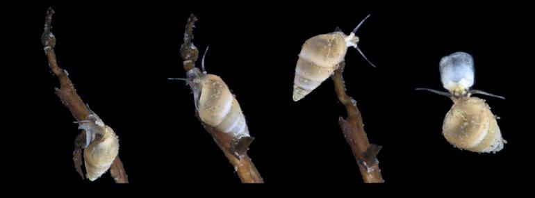Serie de fotos del modelo de cuerno de agua salada de América del Sur en el Oystersheld (Berks Typeslouis).  El animal se arrastra hasta el final de una rama y flota en las corrientes oceánicas para aterrizar a unos metros de distancia.