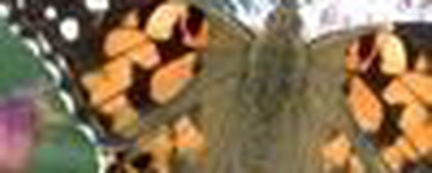 distelvlinder klein