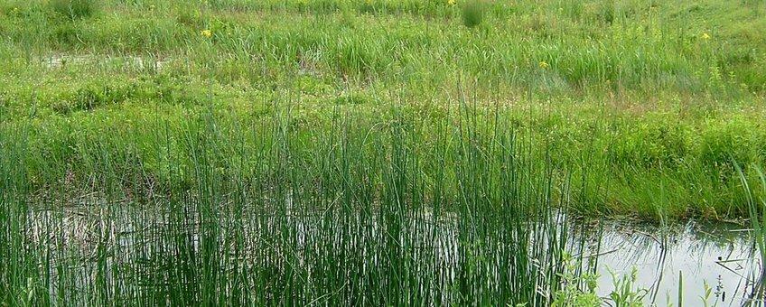 Kamsalamander poel Kandia (Rijnstrangen)